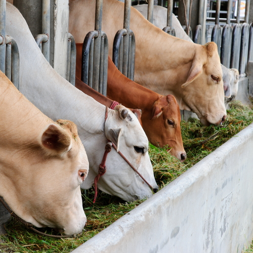 reliably raise cattle that U Grade Cattle