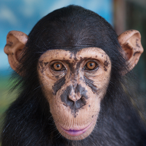 MD Anderson Part of Research Team Revealing Receptive Joint Attention in Chimpanzees Influenced by the AVPR1A Gene