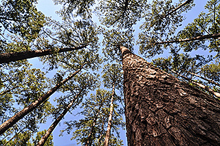 Commercially Vital Loblolly Pine's Huge Genome Sequenced