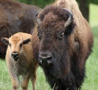 Genetic Lessons Learned From Saving The American Buffalo Could Save Other Species