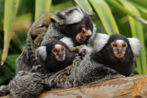 Researchers Search For Answers To Human Stillbirth in Marmoset Monkeys