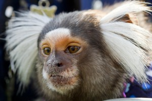 Texas Researchers Part of Marmoset Genetic Sequencing Effort That Could Offer Insight Into Human Reproductive Science