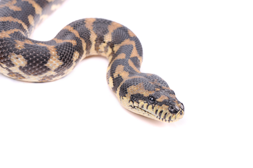 UT Arlington-Led Team Proposes New Snake Venom Evolution Model