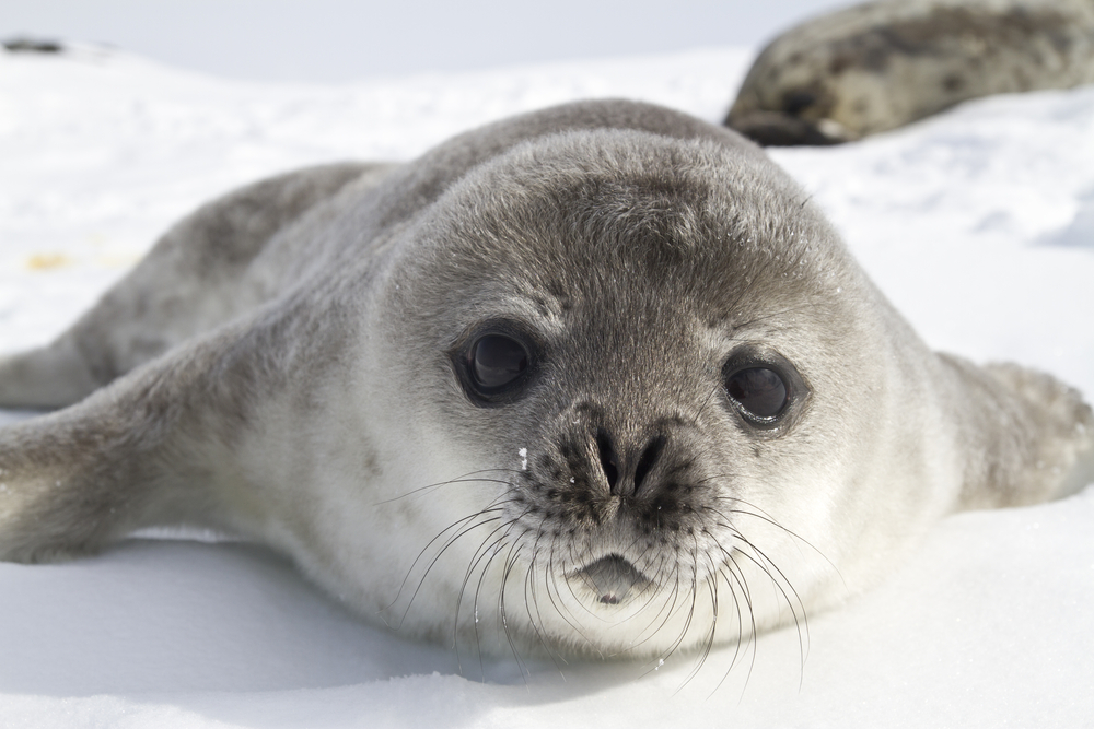 Texas A&M Galveston-Led Study Investigates Whether Ice-Diving Seals Have Internal GPS Guidance