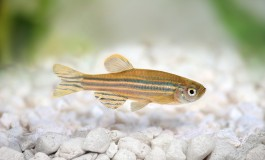 Zebrafish Become Obese Upon Exposure To Flame Retardant Compounds