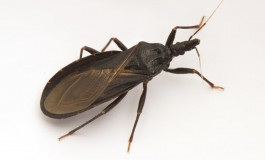 CDC Funds UTHealth Scientist's Outreach and Educational Program on Chagas Disease in South Texas